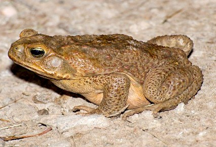 Cane Toad Found Locally